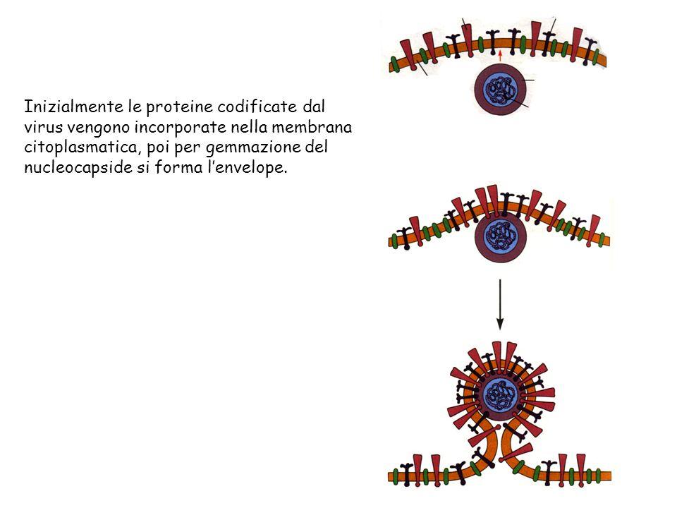 Inizialmente le proteine codificate dal virus vengono incorporate nella membrana citoplasmatica, poi per gemmazione del nucleocapside si forma l'envelope.