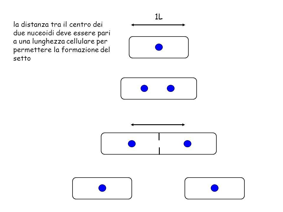 1L la distanza tra il centro dei due nuceoidi deve essere pari a una lunghezza cellulare per permettere la formazione del setto.