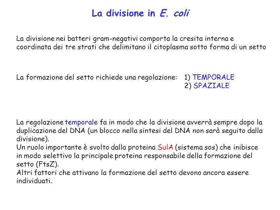 La divisione in E. coli