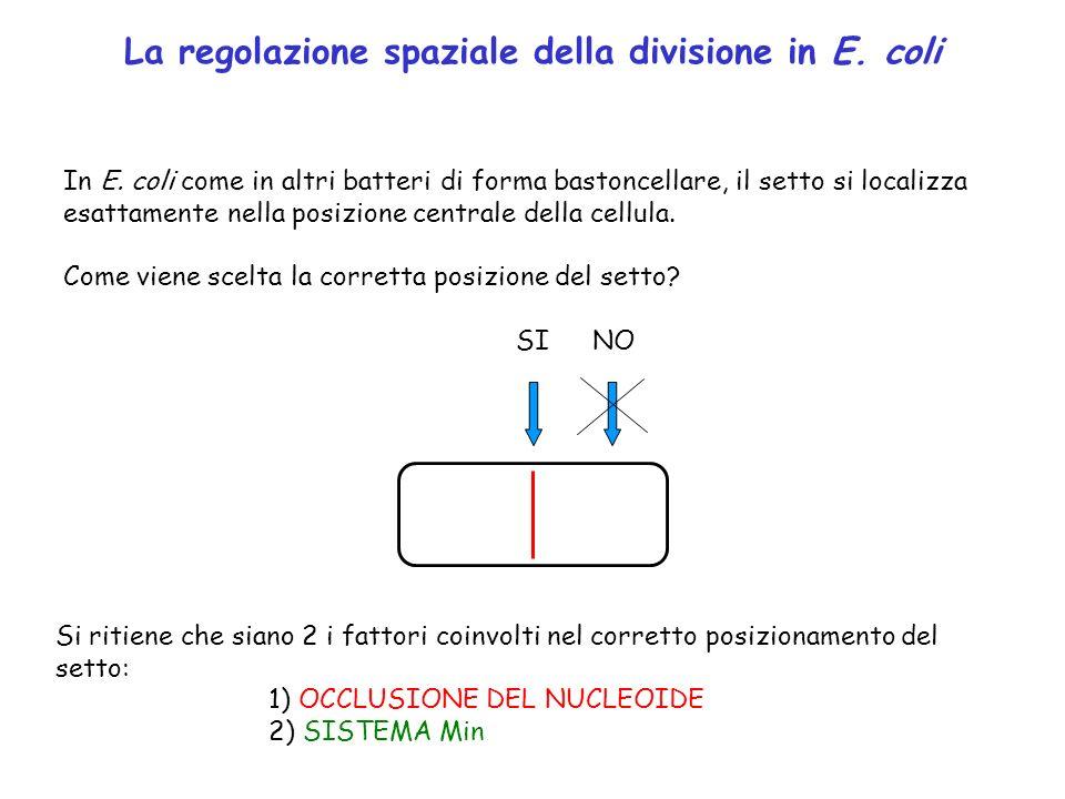 La regolazione spaziale della divisione in E. coli