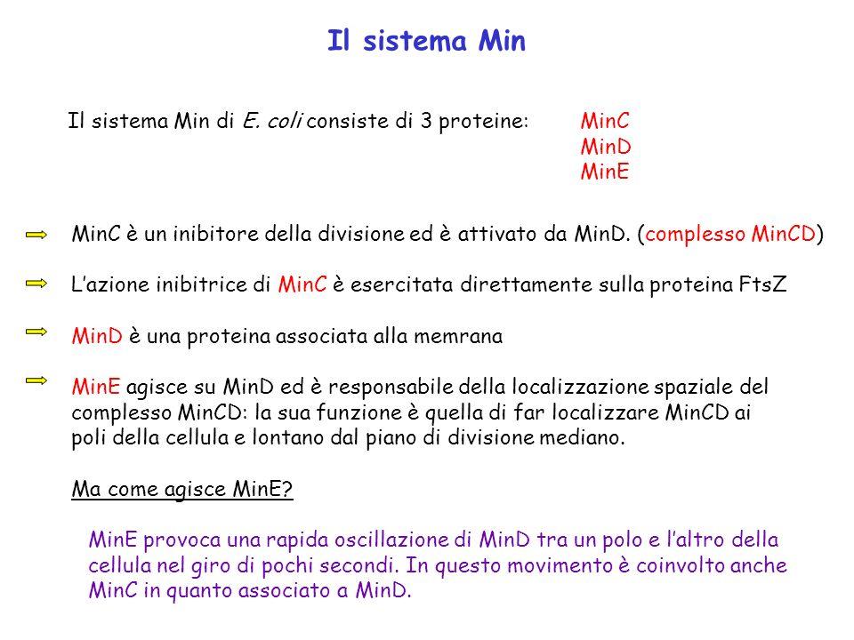 Il sistema Min Il sistema Min di E. coli consiste di 3 proteine: MinC