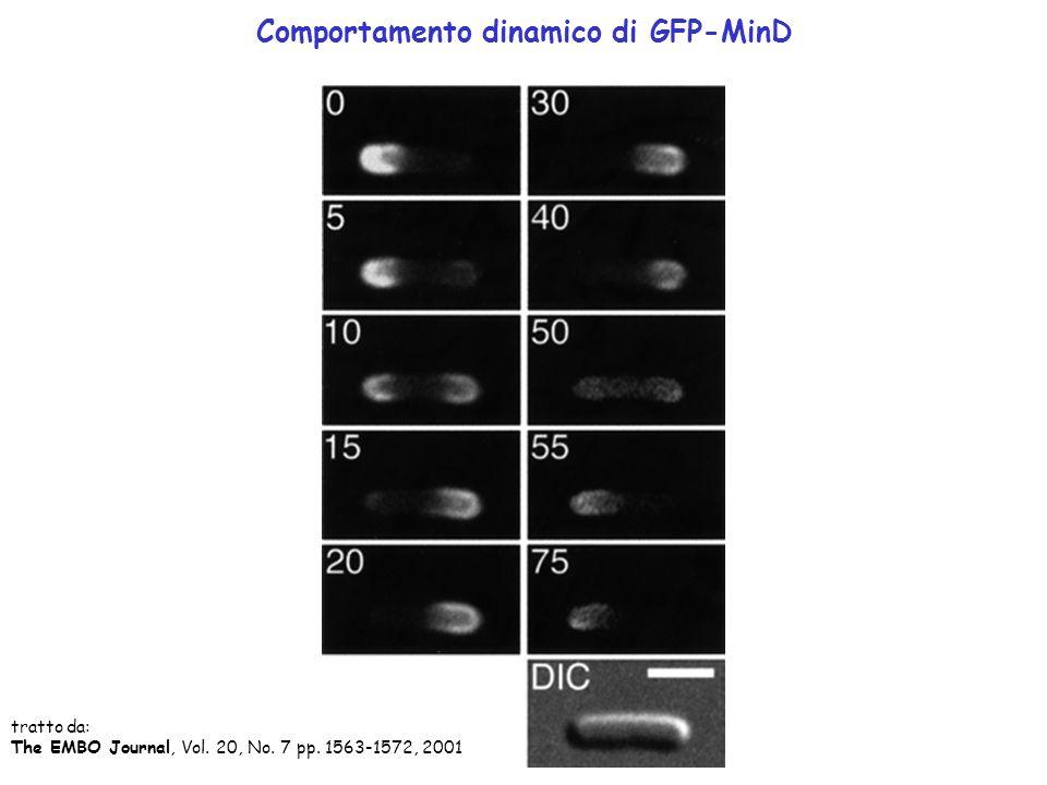 Comportamento dinamico di GFP-MinD