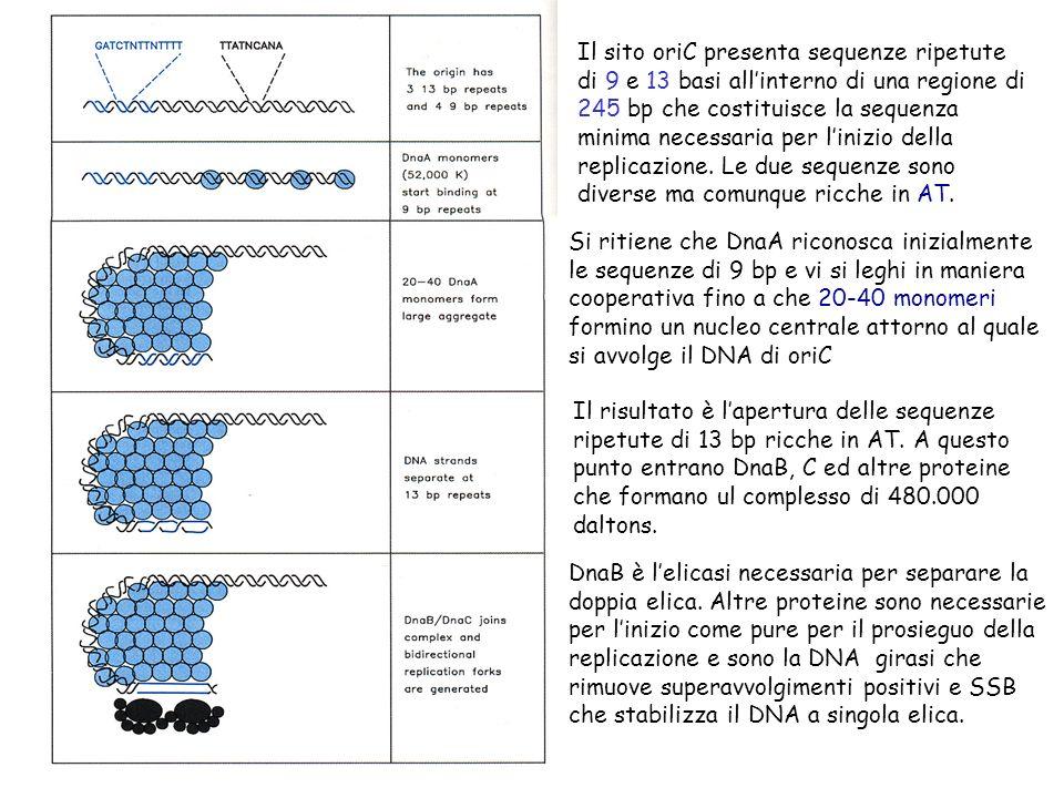 Il sito oriC presenta sequenze ripetute di 9 e 13 basi all'interno di una regione di 245 bp che costituisce la sequenza minima necessaria per l'inizio della replicazione. Le due sequenze sono diverse ma comunque ricche in AT.