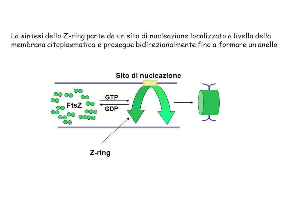 La sintesi dello Z-ring parte da un sito di nucleazione localizzato a livello della membrana citoplasmatica e prosegue bidirezionalmente fino a formare un anello