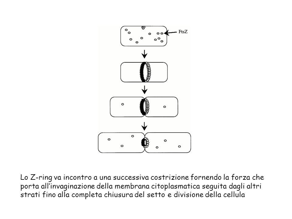 Lo Z-ring va incontro a una successiva costrizione fornendo la forza che porta all'invaginazione della membrana citoplasmatica seguita dagli altri strati fino alla completa chiusura del setto e divisione della cellula