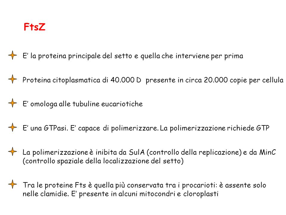 FtsZ E' la proteina principale del setto e quella che interviene per prima.