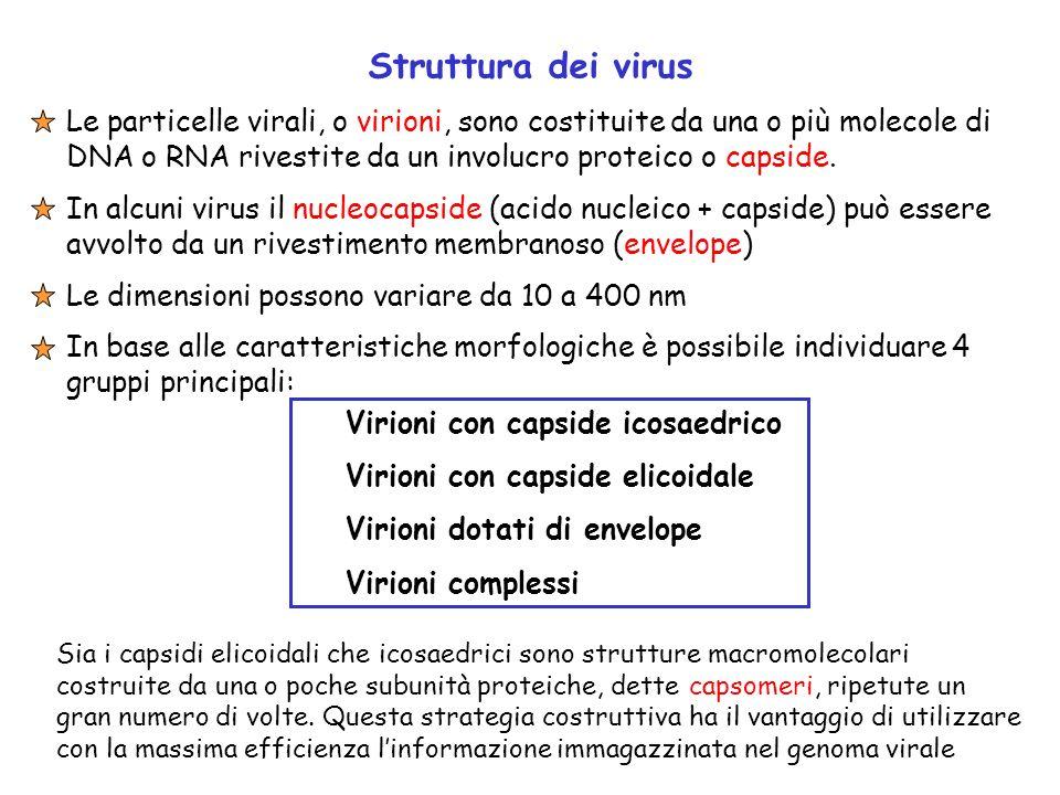 Struttura dei virus Le particelle virali, o virioni, sono costituite da una o più molecole di DNA o RNA rivestite da un involucro proteico o capside.