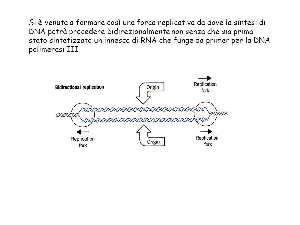 Si è venuta a formare così una forca replicativa da dove la sintesi di DNA potrà procedere bidirezionalmente non senza che sia prima stato sintetizzato un innesco di RNA che funge da primer per la DNA polimerasi III