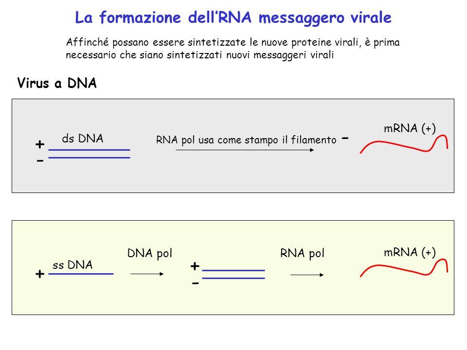 + - + + - La formazione dell'RNA messaggero virale Virus a DNA