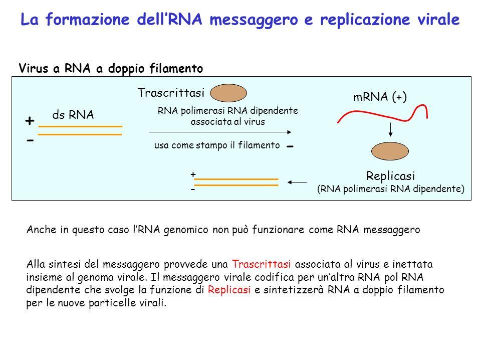 + - - La formazione dell'RNA messaggero e replicazione virale