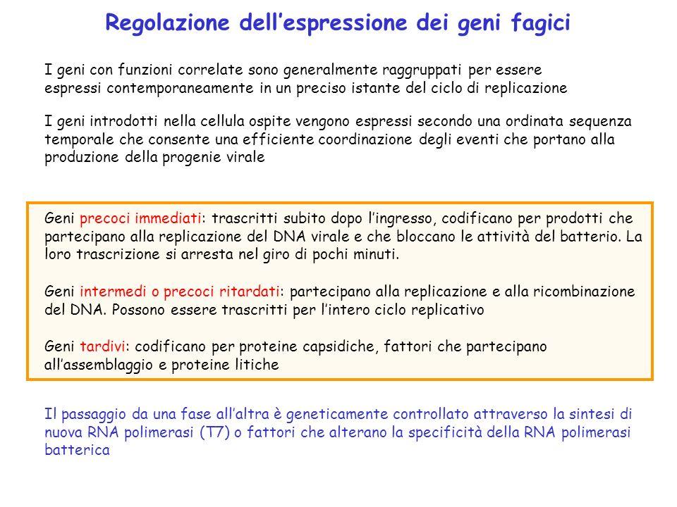 Regolazione dell'espressione dei geni fagici