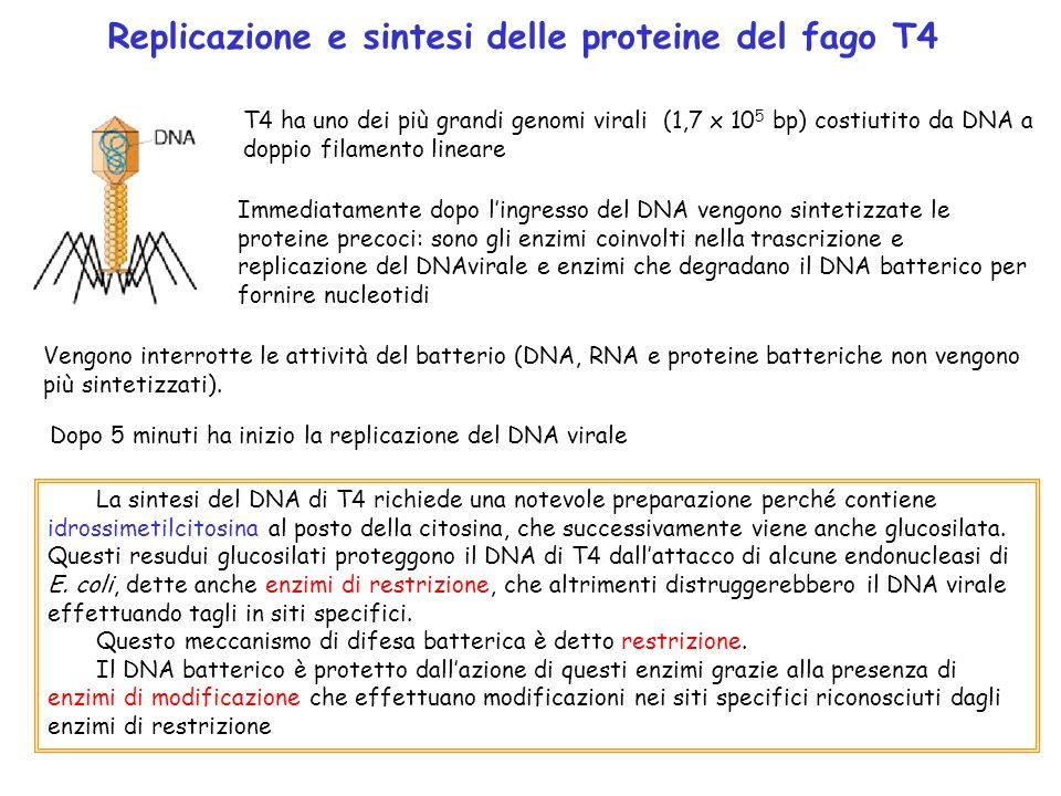 Replicazione e sintesi delle proteine del fago T4