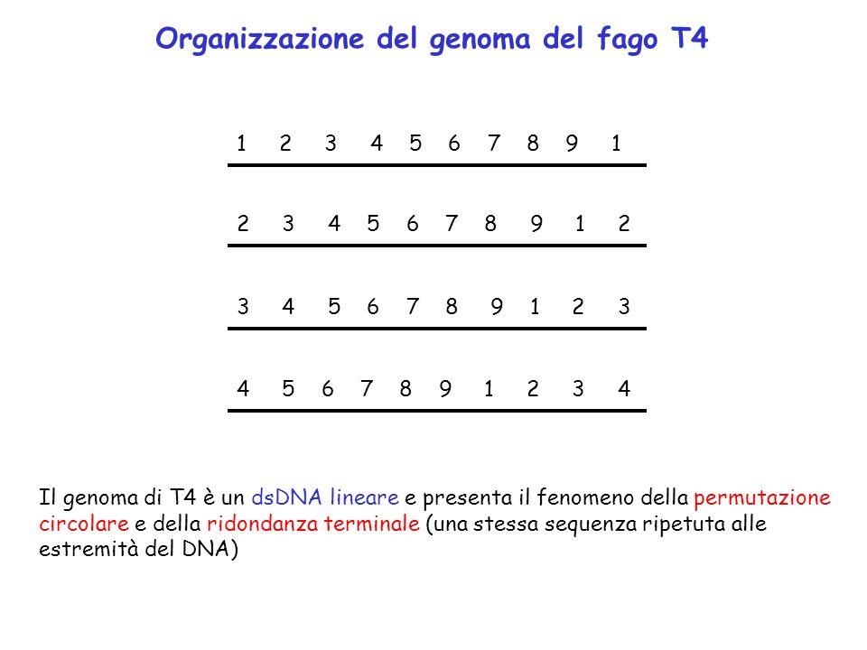 Organizzazione del genoma del fago T4