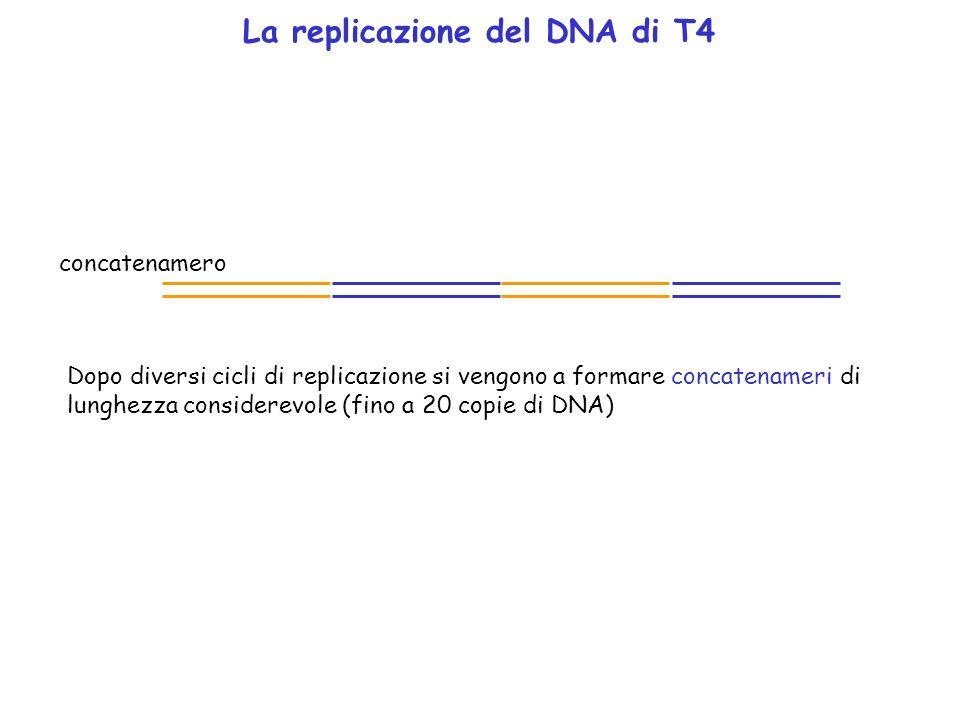 La replicazione del DNA di T4