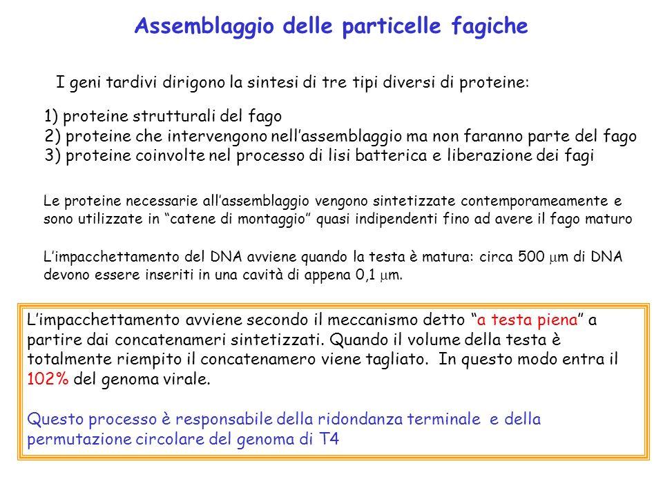 Assemblaggio delle particelle fagiche
