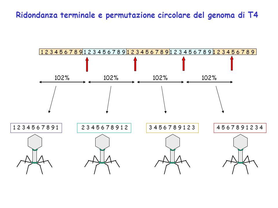 Ridondanza terminale e permutazione circolare del genoma di T4