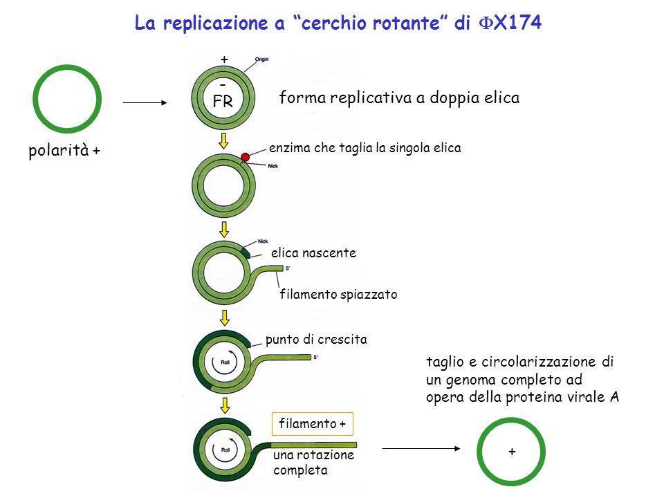 La replicazione a cerchio rotante di X174
