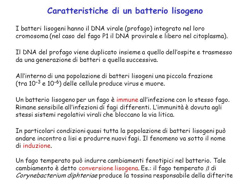 Caratteristiche di un batterio lisogeno