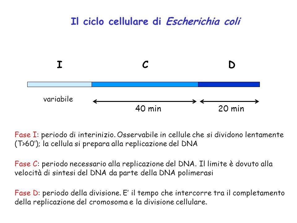 Il ciclo cellulare di Escherichia coli