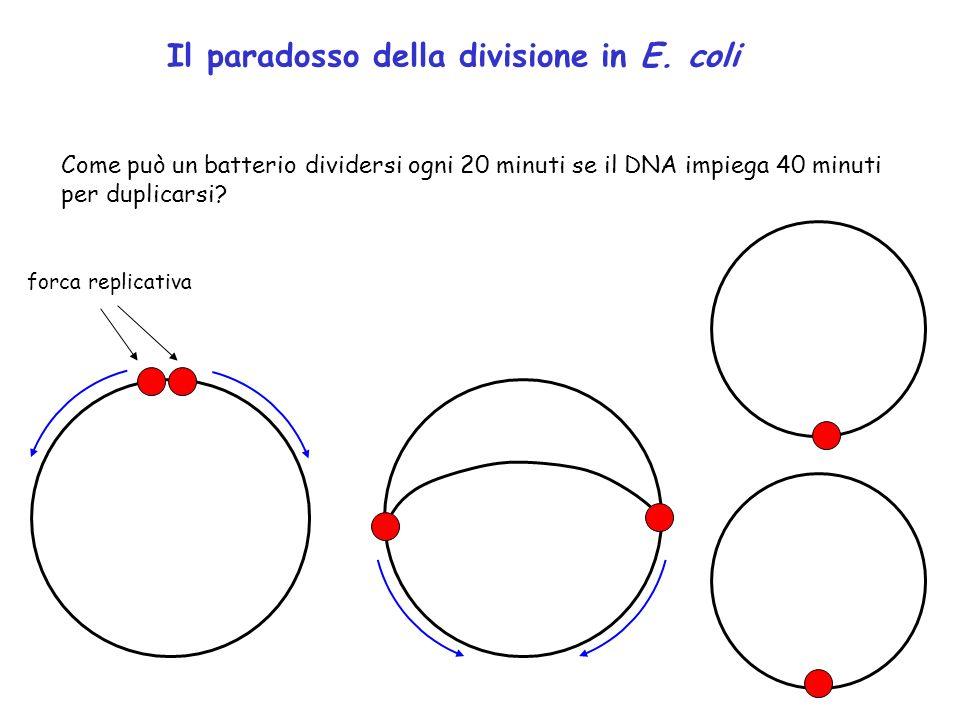 Il paradosso della divisione in E. coli
