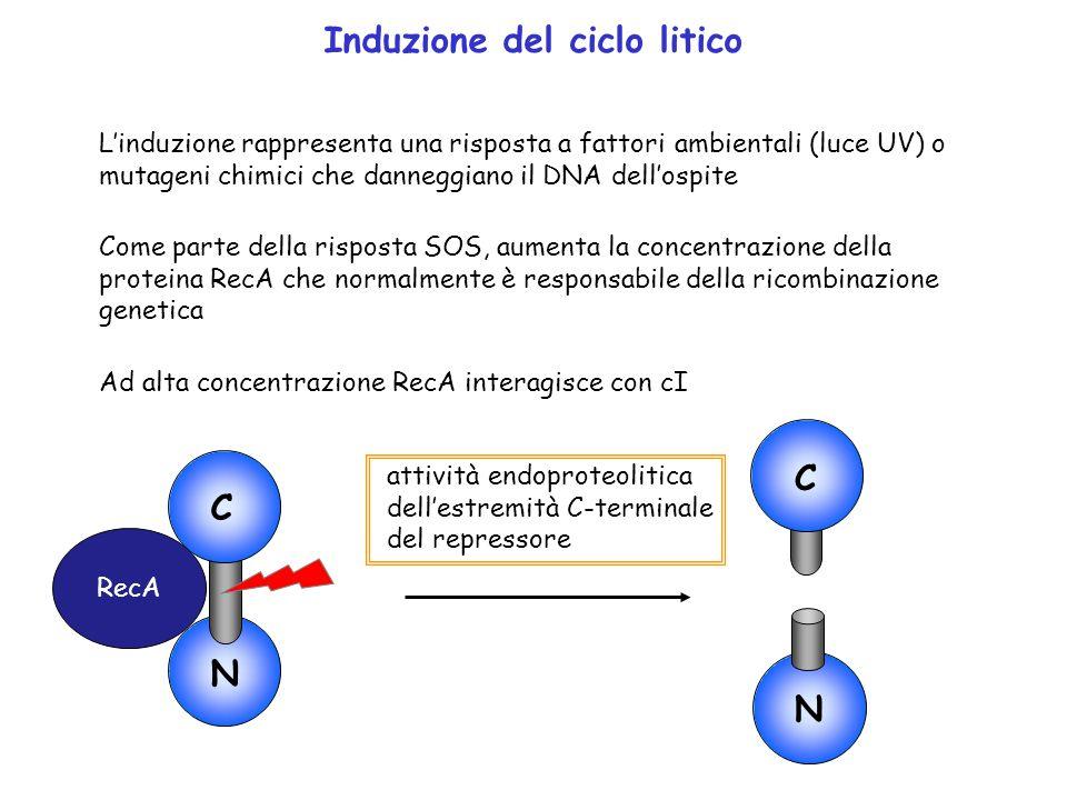 Induzione del ciclo litico