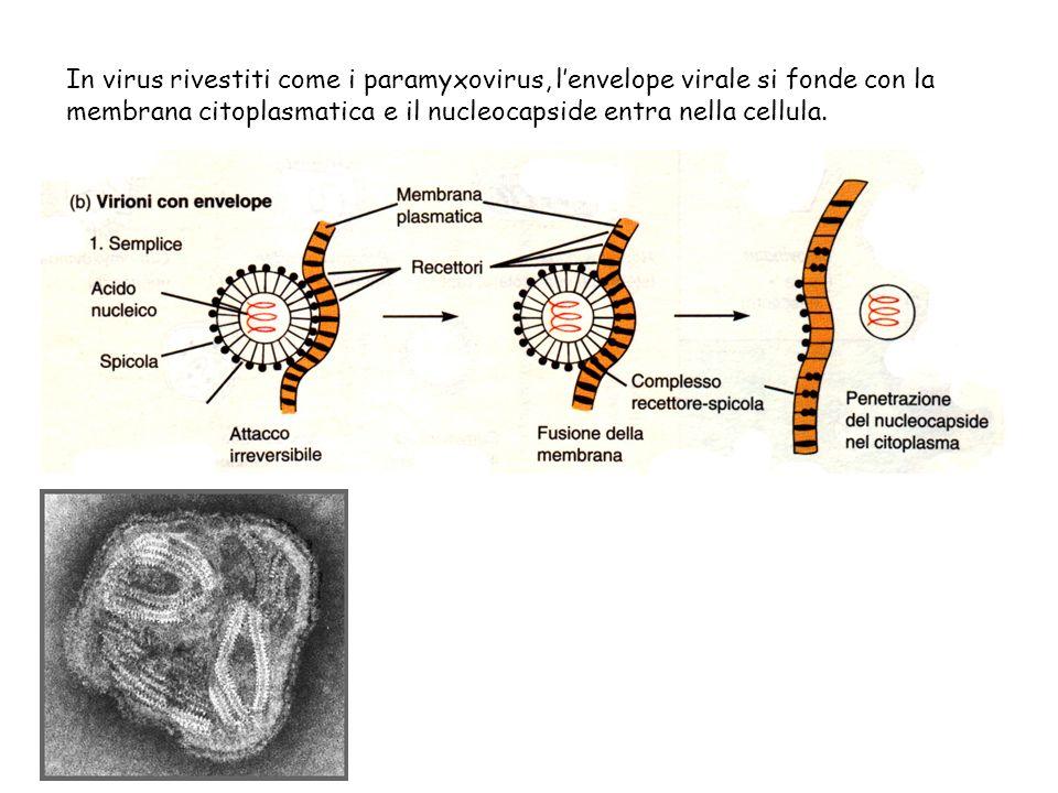 In virus rivestiti come i paramyxovirus, l'envelope virale si fonde con la membrana citoplasmatica e il nucleocapside entra nella cellula.