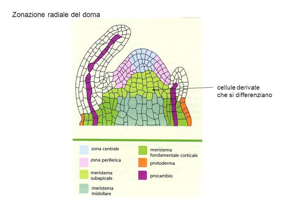 Zonazione radiale del doma