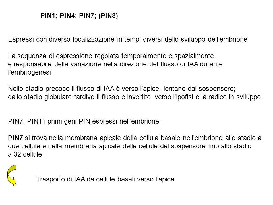 PIN1; PIN4; PIN7; (PIN3) Espressi con diversa localizzazione in tempi diversi dello sviluppo dell'embrione.