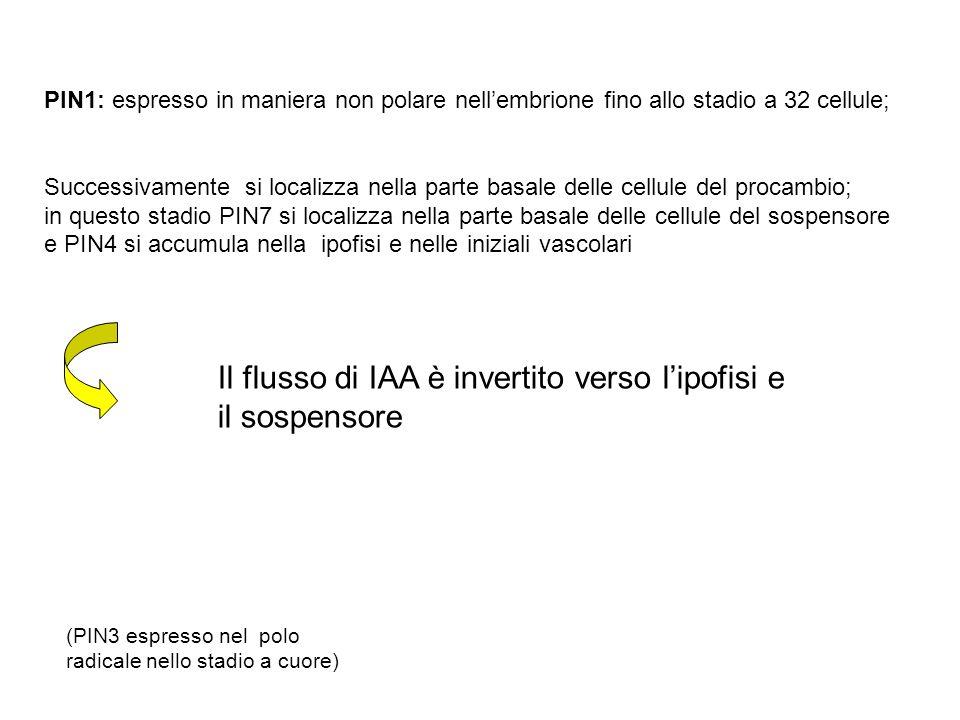 Il flusso di IAA è invertito verso l'ipofisi e il sospensore