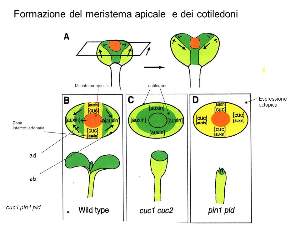 Formazione del meristema apicale e dei cotiledoni
