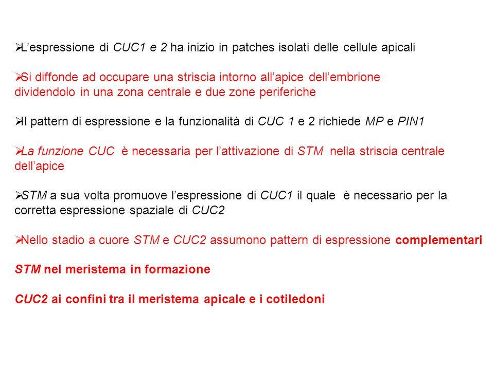 L'espressione di CUC1 e 2 ha inizio in patches isolati delle cellule apicali