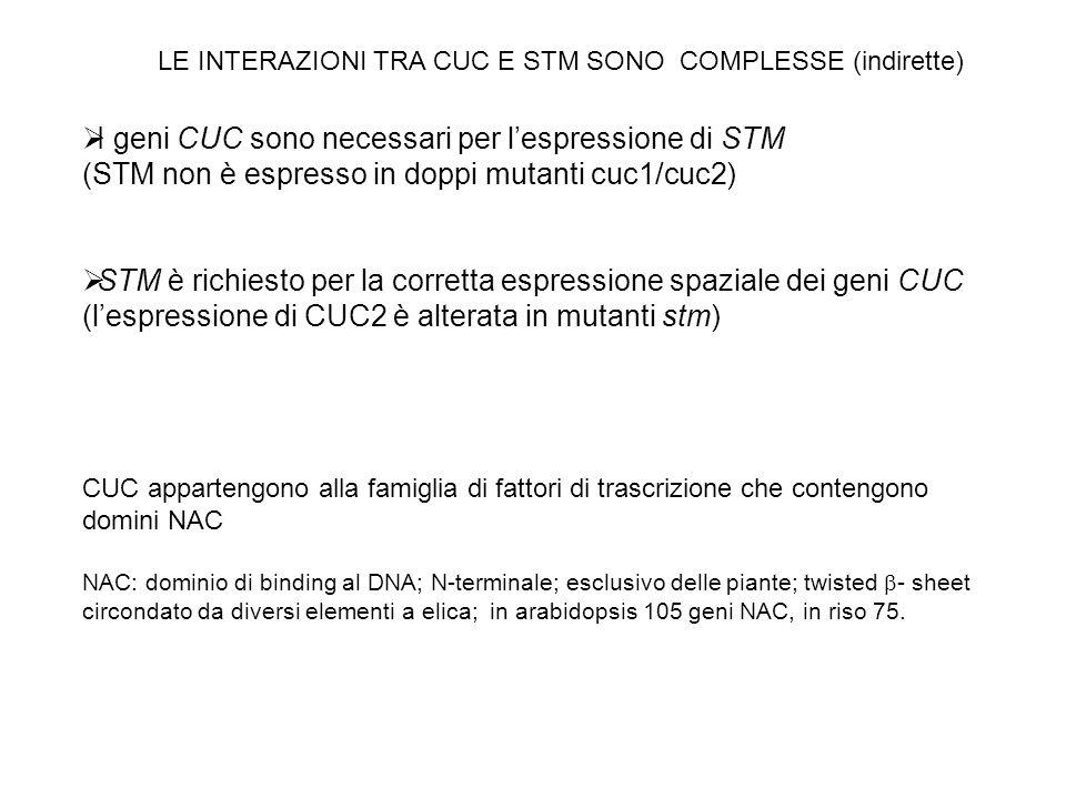 I geni CUC sono necessari per l'espressione di STM