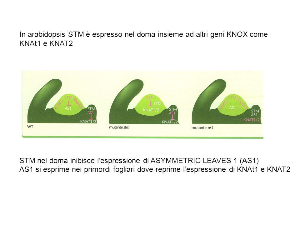 In arabidopsis STM è espresso nel doma insieme ad altri geni KNOX come
