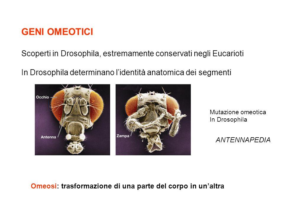 GENI OMEOTICI Scoperti in Drosophila, estremamente conservati negli Eucarioti. In Drosophila determinano l'identità anatomica dei segmenti.