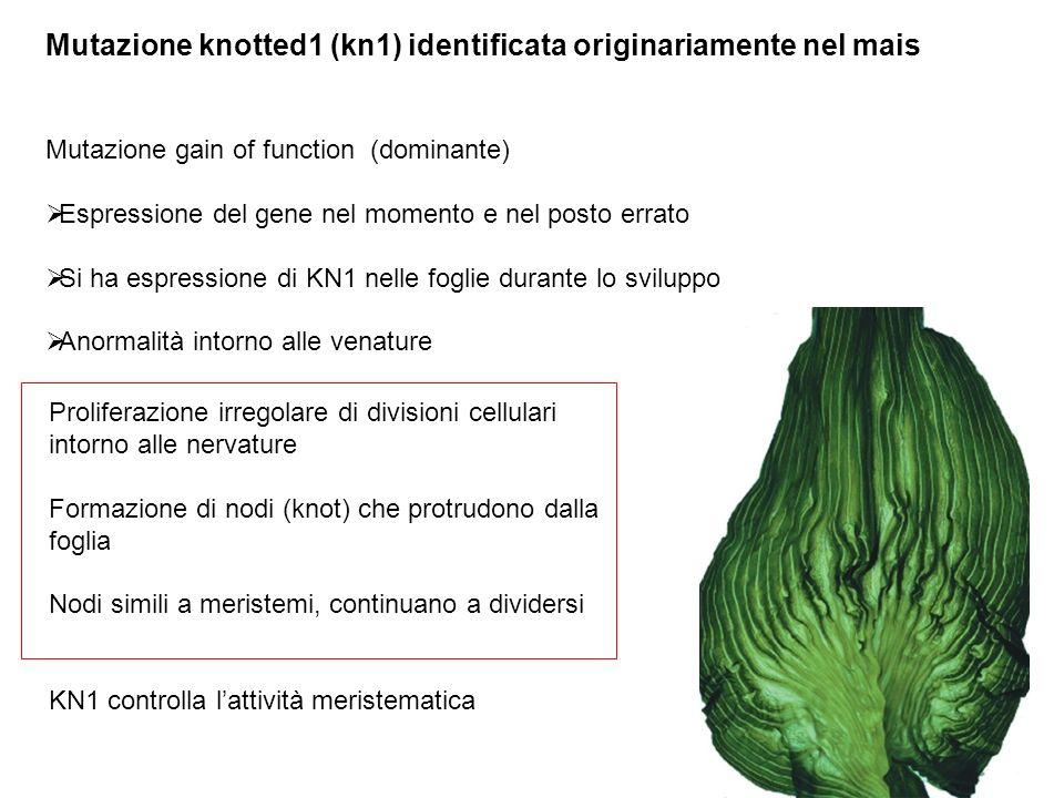 Mutazione knotted1 (kn1) identificata originariamente nel mais