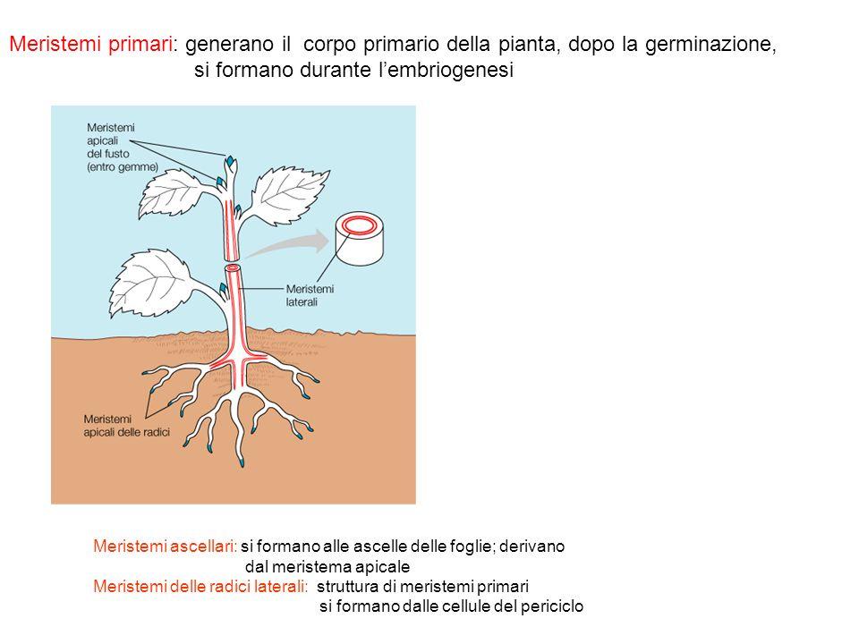 si formano durante l'embriogenesi