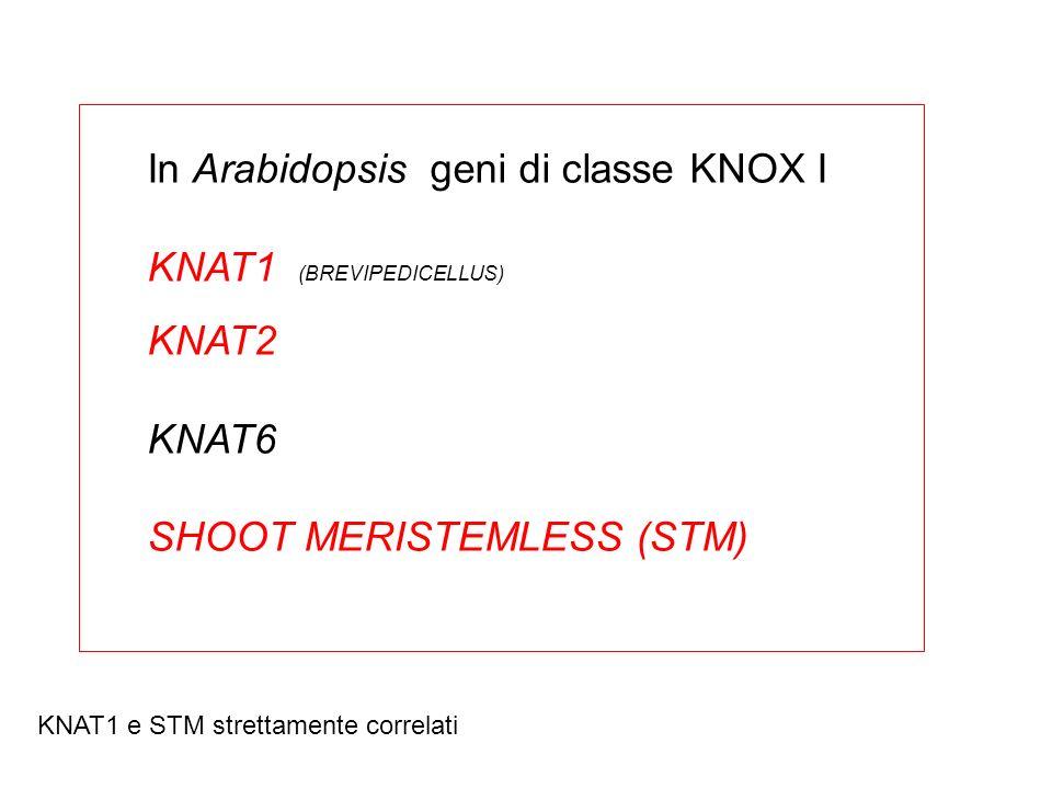 In Arabidopsis geni di classe KNOX I KNAT1 (BREVIPEDICELLUS) KNAT2