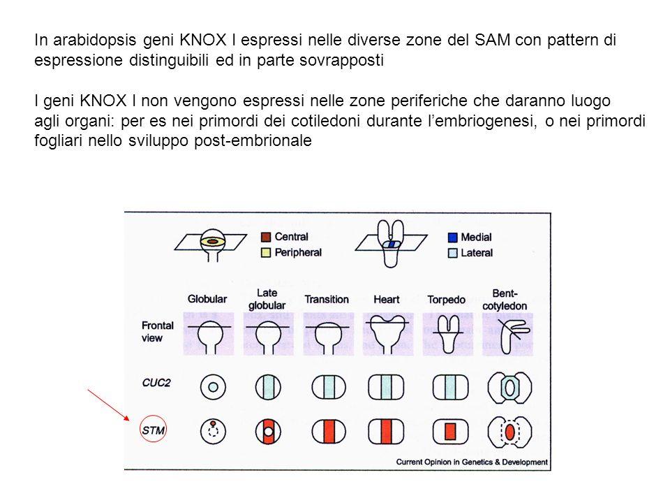 In arabidopsis geni KNOX I espressi nelle diverse zone del SAM con pattern di