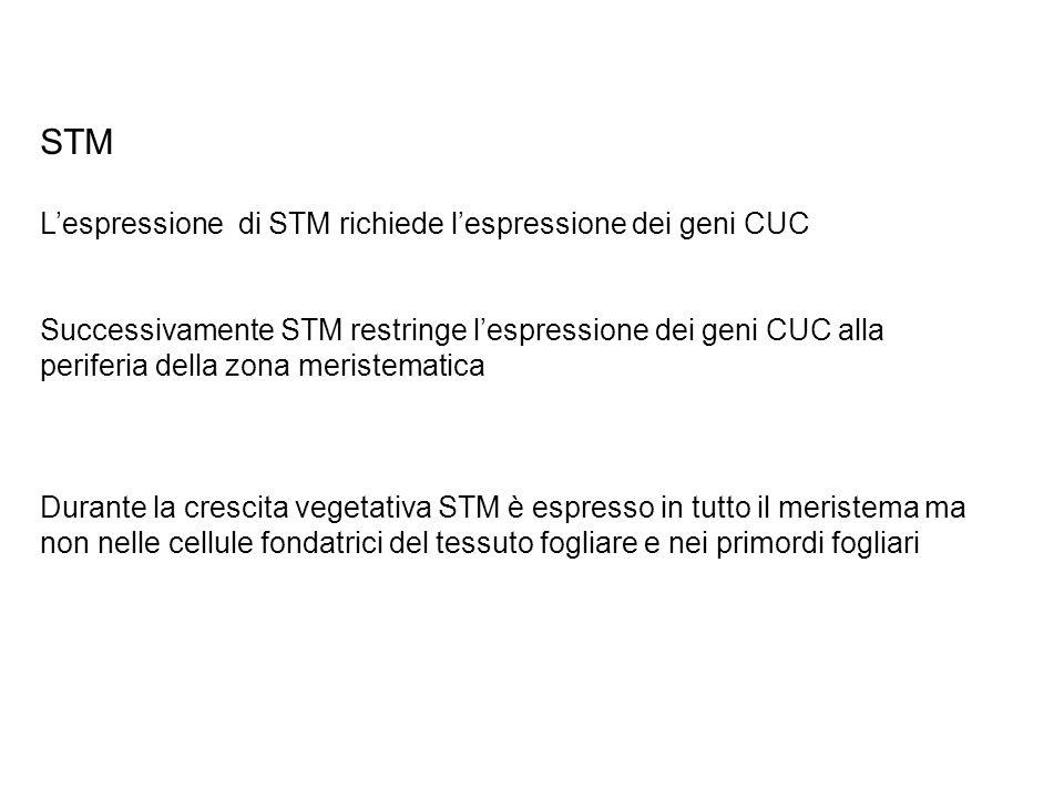 STM L'espressione di STM richiede l'espressione dei geni CUC