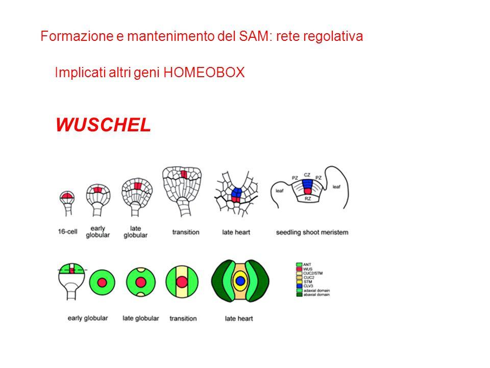 WUSCHEL Formazione e mantenimento del SAM: rete regolativa