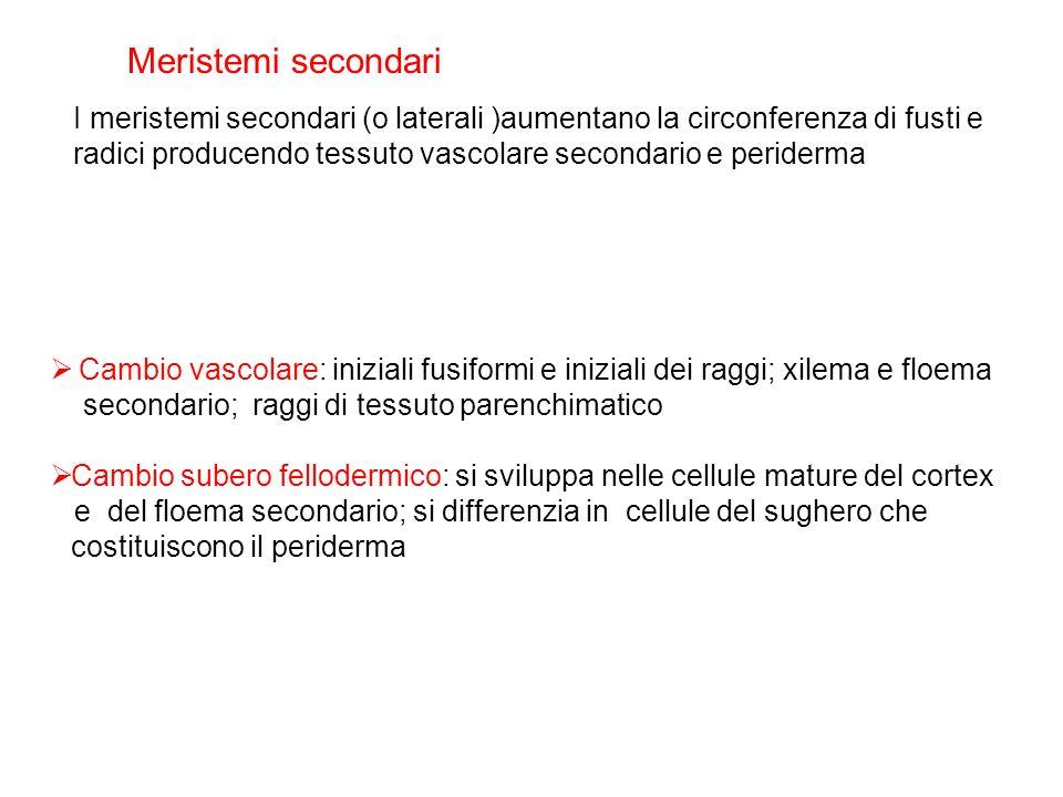 Meristemi secondari I meristemi secondari (o laterali )aumentano la circonferenza di fusti e.