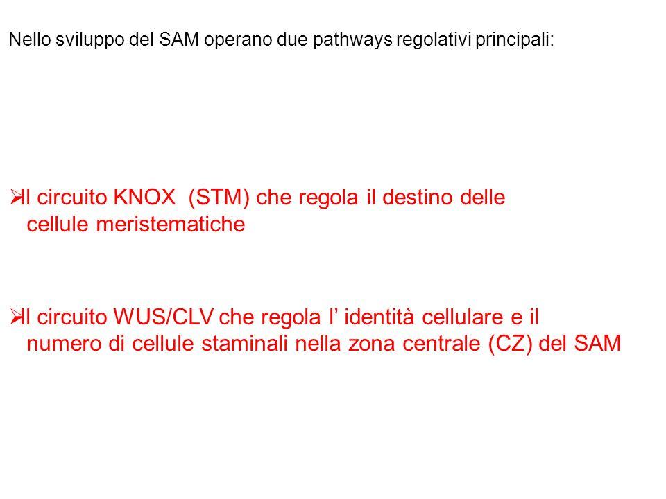 Il circuito KNOX (STM) che regola il destino delle