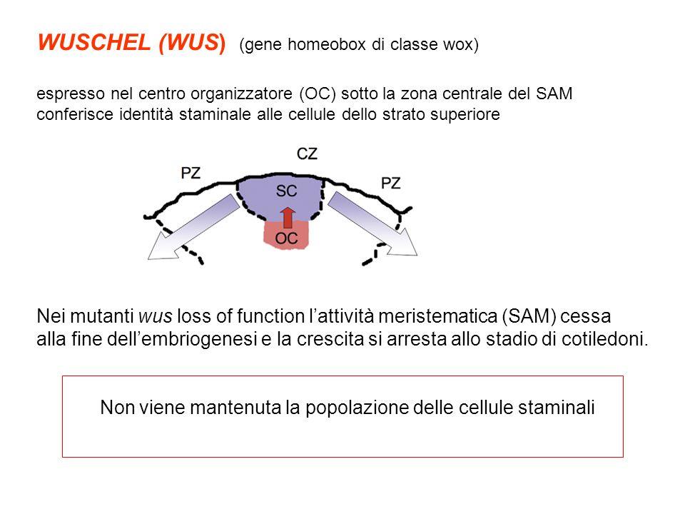 WUSCHEL (WUS) (gene homeobox di classe wox)