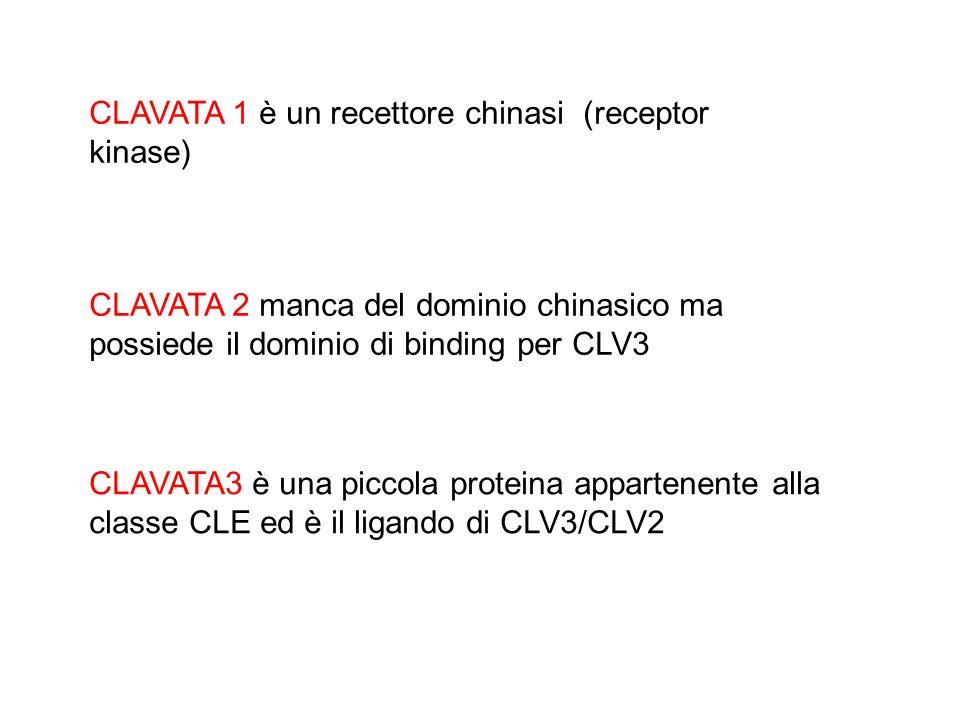 CLAVATA 1 è un recettore chinasi (receptor kinase)