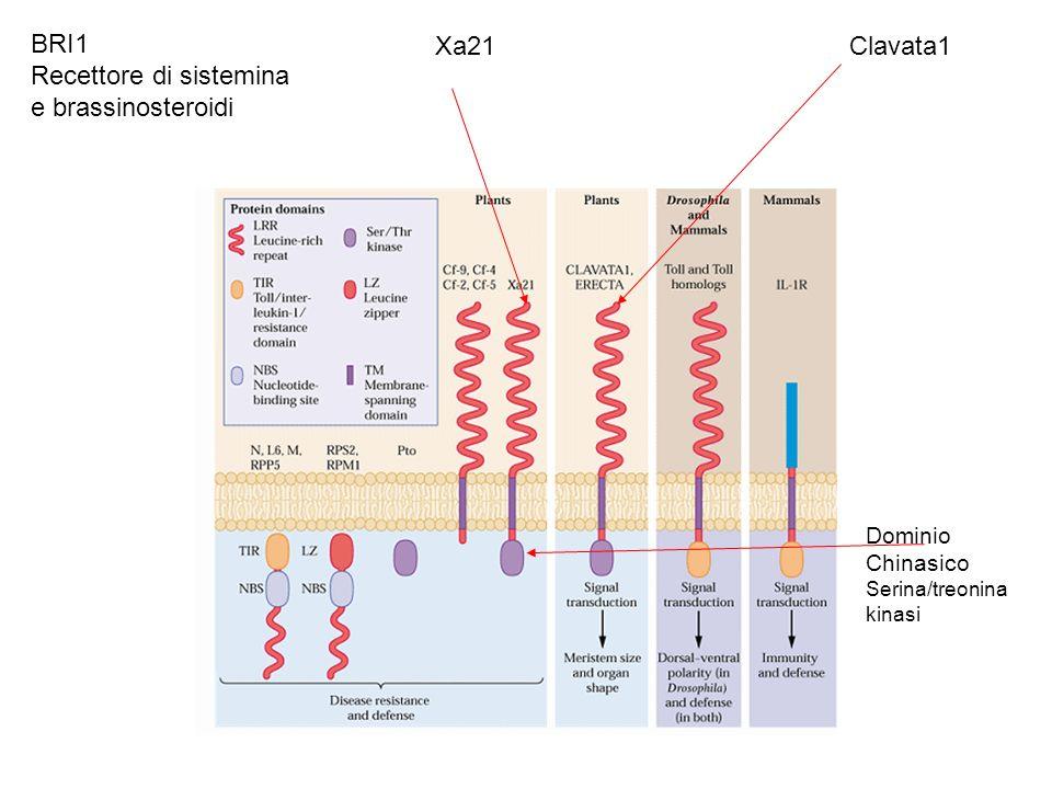 Recettore di sistemina e brassinosteroidi Xa21 Clavata1