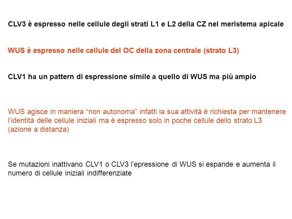 CLV3 è espresso nelle cellule degli strati L1 e L2 della CZ nel meristema apicale