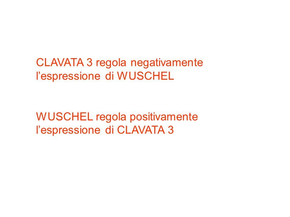 CLAVATA 3 regola negativamente l'espressione di WUSCHEL