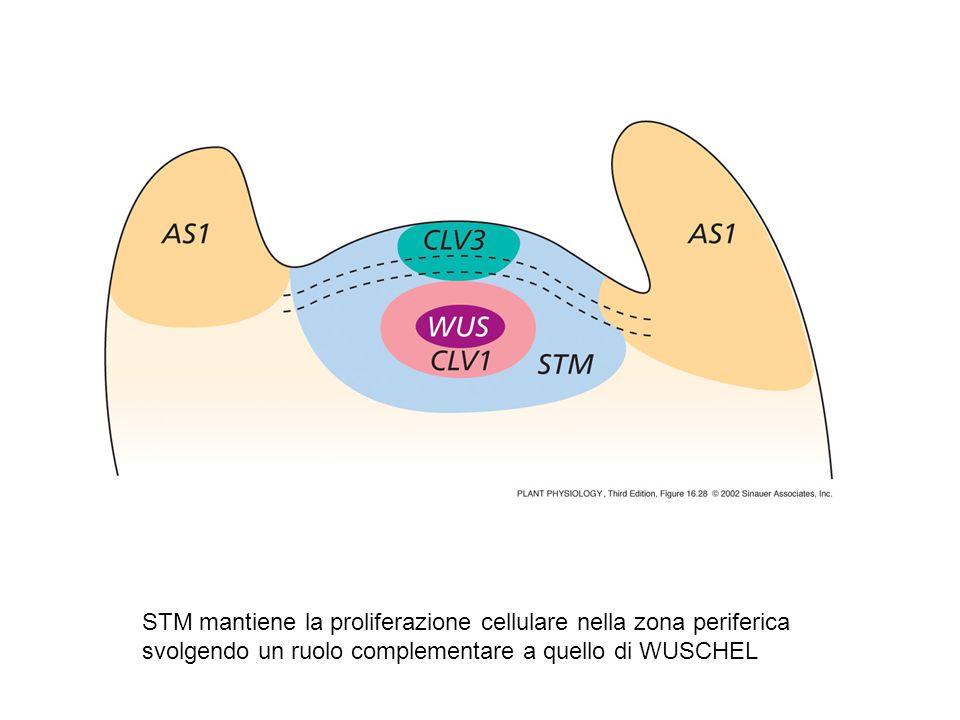 STM mantiene la proliferazione cellulare nella zona periferica