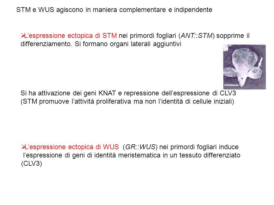 STM e WUS agiscono in maniera complementare e indipendente