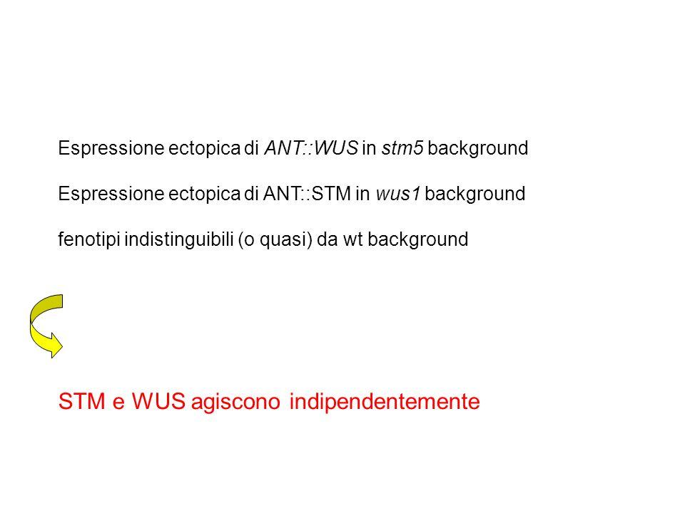 STM e WUS agiscono indipendentemente